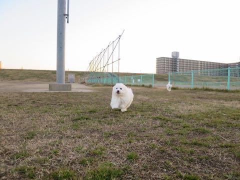 ビションフリーゼこいぬ情報フントヒュッテビションこいぬ画像子犬の社会化ビション赤ちゃんおんなのこかわいいビションフリーゼおとこのこ東京ビション出産情報性格ビション家族募集中_963