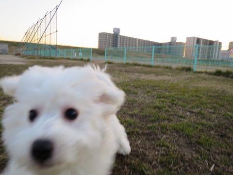 ビションフリーゼこいぬ情報フントヒュッテビションこいぬ画像子犬の社会化ビション赤ちゃんおんなのこかわいいビションフリーゼおとこのこ東京ビション出産情報性格ビション家族募集中_964