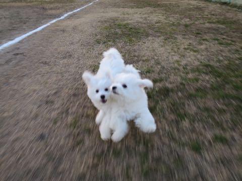 ビションフリーゼこいぬ情報フントヒュッテビションこいぬ画像子犬の社会化ビション赤ちゃんおんなのこかわいいビションフリーゼおとこのこ東京ビション出産情報性格ビション家族募集中_967