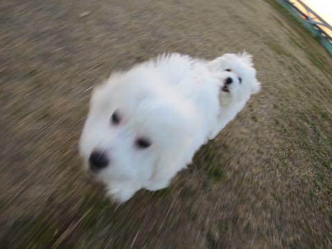 ビションフリーゼこいぬ情報フントヒュッテビションこいぬ画像子犬の社会化ビション赤ちゃんおんなのこかわいいビションフリーゼおとこのこ東京ビション出産情報性格ビション家族募集中_968
