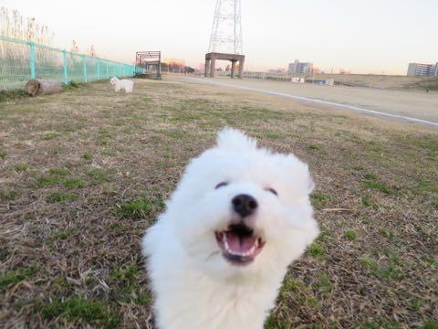 ビションフリーゼこいぬ情報フントヒュッテビションこいぬ画像子犬の社会化ビション赤ちゃんおんなのこかわいいビションフリーゼおとこのこ東京ビション出産情報性格ビション家族募集中_973