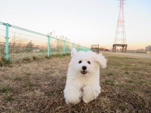 ビションフリーゼこいぬ情報フントヒュッテビションこいぬ画像子犬の社会化ビション赤ちゃんおんなのこかわいいビションフリーゼおとこのこ東京ビション出産情報性格ビション家族募集中_974