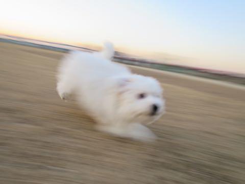 ビションフリーゼこいぬ情報フントヒュッテビションこいぬ画像子犬の社会化ビション赤ちゃんおんなのこかわいいビションフリーゼおとこのこ東京ビション出産情報性格ビション家族募集中_979