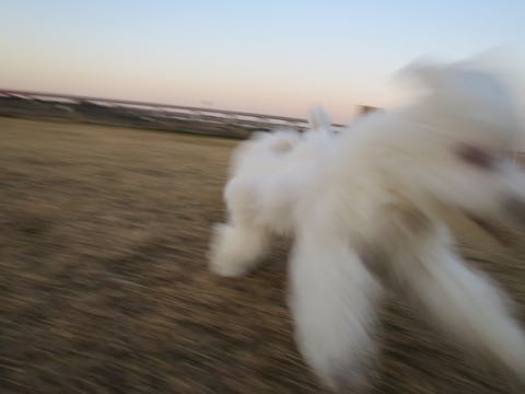 ビションフリーゼこいぬ情報フントヒュッテビションこいぬ画像子犬の社会化ビション赤ちゃんおんなのこかわいいビションフリーゼおとこのこ東京ビション出産情報性格ビション家族募集中_981
