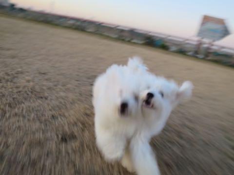 ビションフリーゼこいぬ情報フントヒュッテビションこいぬ画像子犬の社会化ビション赤ちゃんおんなのこかわいいビションフリーゼおとこのこ東京ビション出産情報性格ビション家族募集中_986