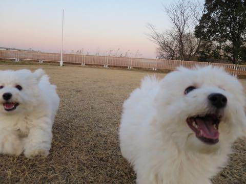 ビションフリーゼこいぬ情報フントヒュッテビションこいぬ画像子犬の社会化ビション赤ちゃんおんなのこかわいいビションフリーゼおとこのこ東京ビション出産情報性格ビション家族募集中_988