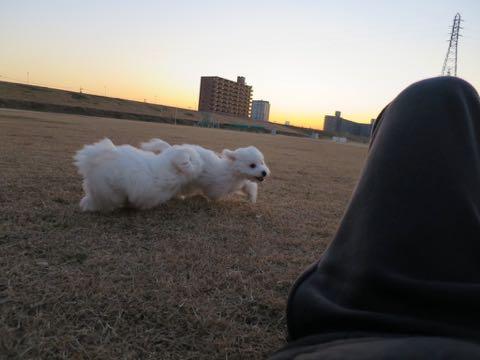 ビションフリーゼこいぬ情報フントヒュッテビションこいぬ画像子犬の社会化ビション赤ちゃんおんなのこかわいいビションフリーゼおとこのこ東京ビション出産情報性格ビション家族募集中_996