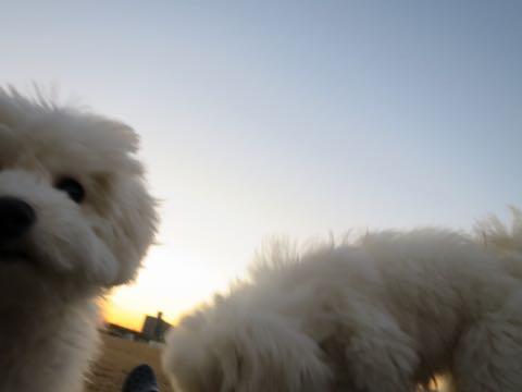 ビションフリーゼこいぬ情報フントヒュッテビションこいぬ画像子犬の社会化ビション赤ちゃんおんなのこかわいいビションフリーゼおとこのこ東京ビション出産情報性格ビション家族募集中_997