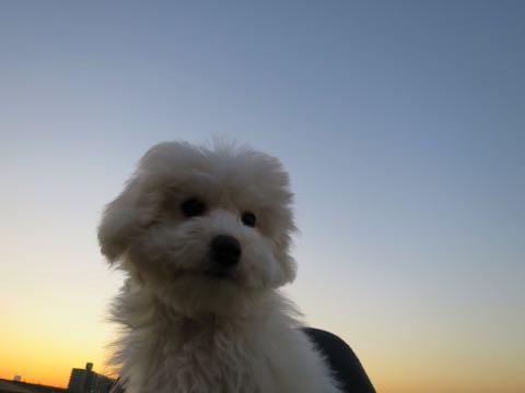 ビションフリーゼこいぬ情報フントヒュッテビションこいぬ画像子犬の社会化ビション赤ちゃんおんなのこかわいいビションフリーゼおとこのこ東京ビション出産情報性格ビション家族募集中_999