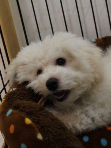 ビションフリーゼこいぬ情報フントヒュッテビションこいぬ画像子犬の社会化ビション赤ちゃんおんなのこかわいいビションフリーゼおとこのこ東京ビション出産情報性格ビション家族募集中_1014