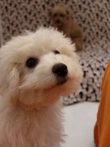 ビションフリーゼこいぬ情報フントヒュッテビションこいぬ画像子犬の社会化ビション赤ちゃんおんなのこかわいいビションフリーゼおとこのこ東京ビション出産情報性格ビション家族募集中_1018