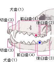 ビションフリーゼこいぬ情報フントヒュッテビションこいぬ画像子犬の社会化ビション赤ちゃんおんなのこかわいいビションフリーゼおとこのこ東京ビション出産情報性格ビション家族募集中_1022