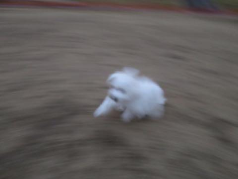 ビションフリーゼこいぬ情報フントヒュッテビションこいぬ画像子犬の社会化ビション赤ちゃんおんなのこかわいいビションフリーゼおとこのこ東京ビション出産情報性格ビション家族募集中_1024