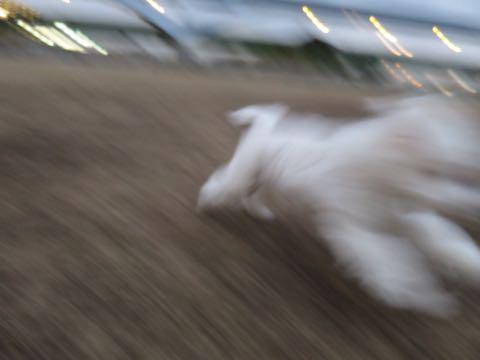 ビションフリーゼこいぬ情報フントヒュッテビションこいぬ画像子犬の社会化ビション赤ちゃんおんなのこかわいいビションフリーゼおとこのこ東京ビション出産情報性格ビション家族募集中_1026