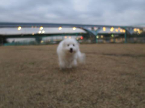 ビションフリーゼこいぬ情報フントヒュッテビションこいぬ画像子犬の社会化ビション赤ちゃんおんなのこかわいいビションフリーゼおとこのこ東京ビション出産情報性格ビション家族募集中_1031