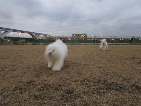 ビションフリーゼこいぬ情報フントヒュッテビションこいぬ画像子犬の社会化ビション赤ちゃんおんなのこかわいいビションフリーゼおとこのこ東京ビション出産情報性格ビション家族募集中_1033