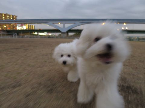 ビションフリーゼこいぬ情報フントヒュッテビションこいぬ画像子犬の社会化ビション赤ちゃんおんなのこかわいいビションフリーゼおとこのこ東京ビション出産情報性格ビション家族募集中_1034