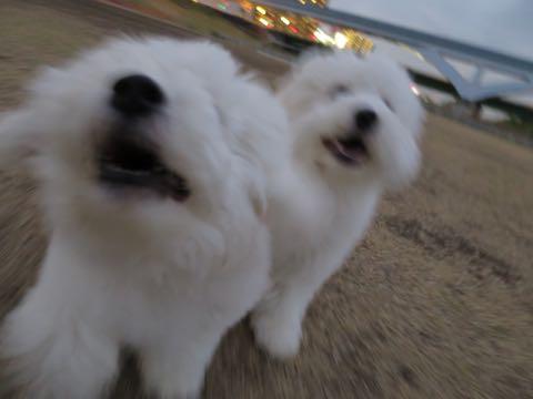 ビションフリーゼこいぬ情報フントヒュッテビションこいぬ画像子犬の社会化ビション赤ちゃんおんなのこかわいいビションフリーゼおとこのこ東京ビション出産情報性格ビション家族募集中_1035