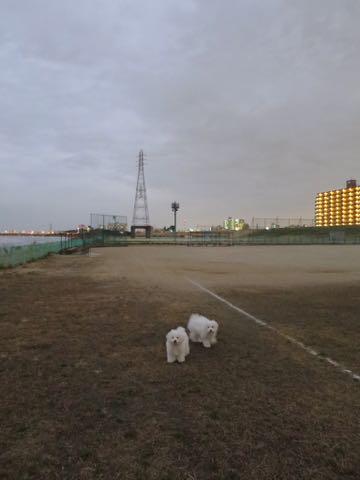 ビションフリーゼこいぬ情報フントヒュッテビションこいぬ画像子犬の社会化ビション赤ちゃんおんなのこかわいいビションフリーゼおとこのこ東京ビション出産情報性格ビション家族募集中_1039