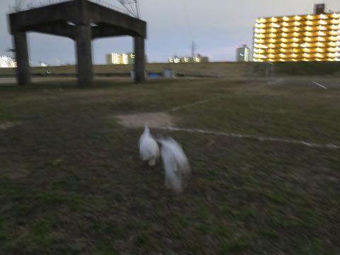 ビションフリーゼこいぬ情報フントヒュッテビションこいぬ画像子犬の社会化ビション赤ちゃんおんなのこかわいいビションフリーゼおとこのこ東京ビション出産情報性格ビション家族募集中_1043