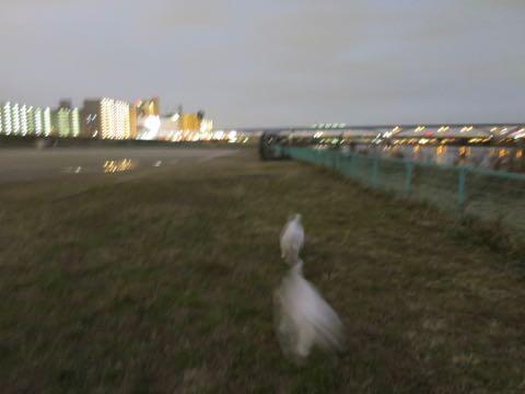 ビションフリーゼこいぬ情報フントヒュッテビションこいぬ画像子犬の社会化ビション赤ちゃんおんなのこかわいいビションフリーゼおとこのこ東京ビション出産情報性格ビション家族募集中_1044