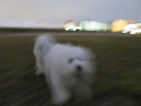 ビションフリーゼこいぬ情報フントヒュッテビションこいぬ画像子犬の社会化ビション赤ちゃんおんなのこかわいいビションフリーゼおとこのこ東京ビション出産情報性格ビション家族募集中_1045