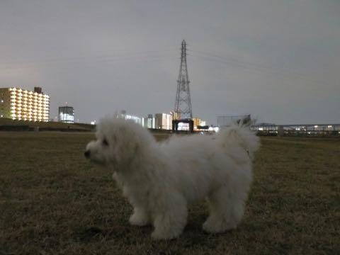 ビションフリーゼこいぬ情報フントヒュッテビションこいぬ画像子犬の社会化ビション赤ちゃんおんなのこかわいいビションフリーゼおとこのこ東京ビション出産情報性格ビション家族募集中_1048