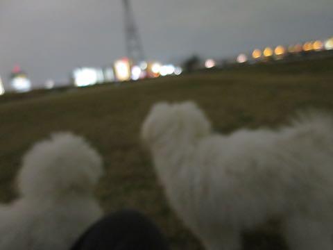 ビションフリーゼこいぬ情報フントヒュッテビションこいぬ画像子犬の社会化ビション赤ちゃんおんなのこかわいいビションフリーゼおとこのこ東京ビション出産情報性格ビション家族募集中_1053