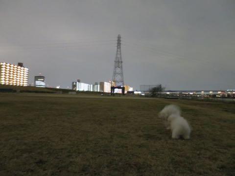 ビションフリーゼこいぬ情報フントヒュッテビションこいぬ画像子犬の社会化ビション赤ちゃんおんなのこかわいいビションフリーゼおとこのこ東京ビション出産情報性格ビション家族募集中_1055