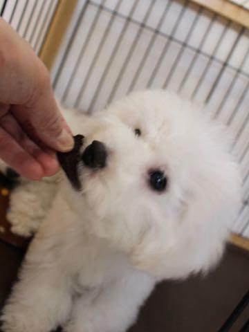ビションフリーゼこいぬ情報フントヒュッテビションこいぬ画像子犬の社会化ビション赤ちゃんおんなのこかわいいビションフリーゼおとこのこ東京ビション出産情報性格ビション家族募集中_1064