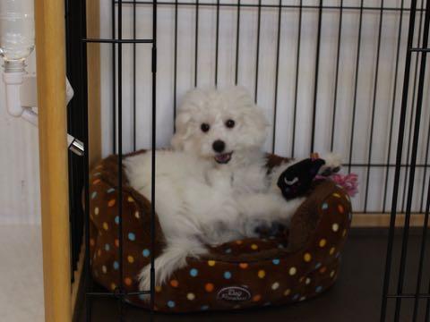 ビションフリーゼこいぬ情報フントヒュッテビションこいぬ画像子犬の社会化ビション赤ちゃんおんなのこかわいいビションフリーゼおとこのこ東京ビション出産情報性格ビション家族募集中_1069