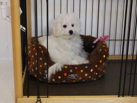 ビションフリーゼこいぬ情報フントヒュッテビションこいぬ画像子犬の社会化ビション赤ちゃんおんなのこかわいいビションフリーゼおとこのこ東京ビション出産情報性格ビション家族募集中_1070