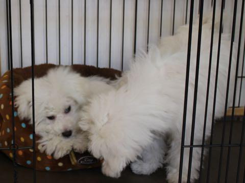 ビションフリーゼこいぬ情報フントヒュッテビションこいぬ画像子犬の社会化ビション赤ちゃんおんなのこかわいいビションフリーゼおとこのこ東京ビション出産情報性格ビション家族募集中_1073