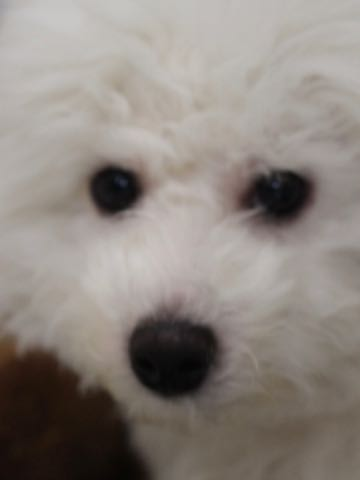 ビションフリーゼこいぬ情報フントヒュッテビションこいぬ画像子犬の社会化ビション赤ちゃんおんなのこかわいいビションフリーゼおとこのこ東京ビション出産情報性格ビション家族募集中_1083