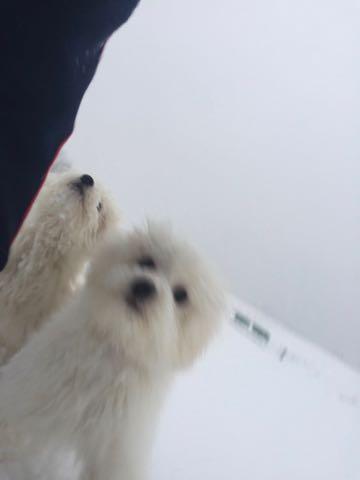 ビションフリーゼこいぬ情報フントヒュッテビションこいぬ画像子犬の社会化ビション赤ちゃんおんなのこかわいいビションフリーゼおとこのこ東京ビション出産情報性格ビション家族募集中_1145