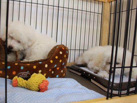 ビションフリーゼこいぬ情報フントヒュッテビションこいぬ画像子犬の社会化ビション赤ちゃんおんなのこかわいいビションフリーゼおとこのこ東京ビション出産情報性格ビション家族募集中_1197