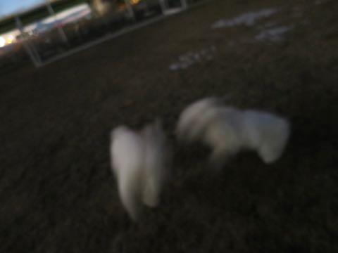 ビションフリーゼこいぬ情報フントヒュッテビションこいぬ画像子犬の社会化ビション赤ちゃんおんなのこかわいいビションフリーゼおとこのこ東京ビション出産情報性格ビション家族募集中_1211