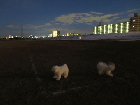 ビションフリーゼこいぬ情報フントヒュッテビションこいぬ画像子犬の社会化ビション赤ちゃんおんなのこかわいいビションフリーゼおとこのこ東京ビション出産情報性格ビション家族募集中_1215