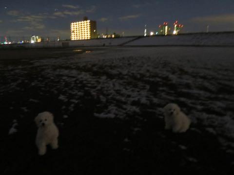 ビションフリーゼこいぬ情報フントヒュッテビションこいぬ画像子犬の社会化ビション赤ちゃんおんなのこかわいいビションフリーゼおとこのこ東京ビション出産情報性格ビション家族募集中_1225