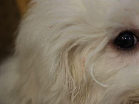 ビションフリーゼこいぬ情報フントヒュッテビションこいぬ画像子犬の社会化ビション赤ちゃんおんなのこかわいいビションフリーゼおとこのこ東京ビション出産情報性格ビション家族募集中_1227