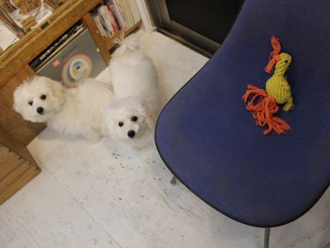 ビションフリーゼこいぬ情報フントヒュッテビションこいぬ画像子犬の社会化ビション赤ちゃんおんなのこかわいいビションフリーゼおとこのこ東京ビション出産情報性格ビション家族募集中_1231