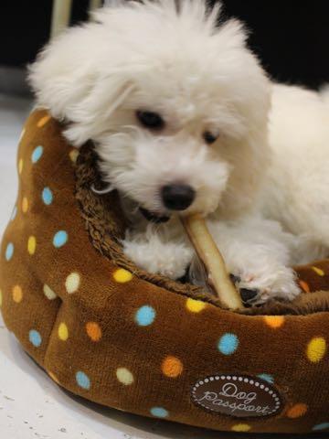 ビションフリーゼこいぬ情報フントヒュッテビションこいぬ画像子犬の社会化ビション赤ちゃんおんなのこかわいいビションフリーゼおとこのこ東京ビション出産情報性格ビション家族募集中_1240