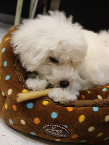 ビションフリーゼこいぬ情報フントヒュッテビションこいぬ画像子犬の社会化ビション赤ちゃんおんなのこかわいいビションフリーゼおとこのこ東京ビション出産情報性格ビション家族募集中_1243