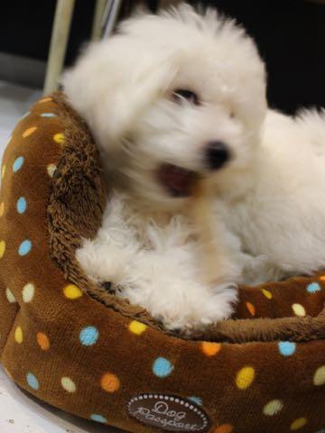 ビションフリーゼこいぬ情報フントヒュッテビションこいぬ画像子犬の社会化ビション赤ちゃんおんなのこかわいいビションフリーゼおとこのこ東京ビション出産情報性格ビション家族募集中_1244