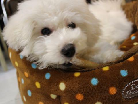 ビションフリーゼこいぬ情報フントヒュッテビションこいぬ画像子犬の社会化ビション赤ちゃんおんなのこかわいいビションフリーゼおとこのこ東京ビション出産情報性格ビション家族募集中_1246