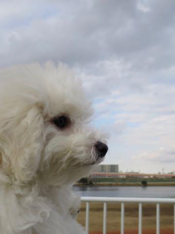 ビションフリーゼこいぬ情報フントヒュッテビションこいぬ画像子犬の社会化ビション赤ちゃんおんなのこかわいいビションフリーゼおとこのこ東京ビション出産情報性格ビション家族募集中_1251