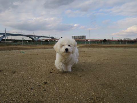 ビションフリーゼこいぬ情報フントヒュッテビションこいぬ画像子犬の社会化ビション赤ちゃんおんなのこかわいいビションフリーゼおとこのこ東京ビション出産情報性格ビション家族募集中_1260