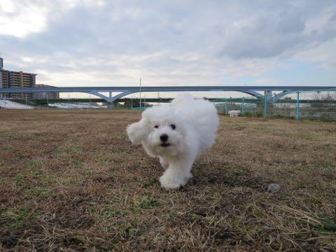 ビションフリーゼこいぬ情報フントヒュッテビションこいぬ画像子犬の社会化ビション赤ちゃんおんなのこかわいいビションフリーゼおとこのこ東京ビション出産情報性格ビション家族募集中_1264