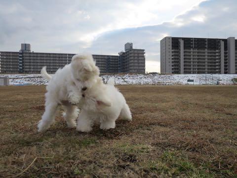 ビションフリーゼこいぬ情報フントヒュッテビションこいぬ画像子犬の社会化ビション赤ちゃんおんなのこかわいいビションフリーゼおとこのこ東京ビション出産情報性格ビション家族募集中_1266
