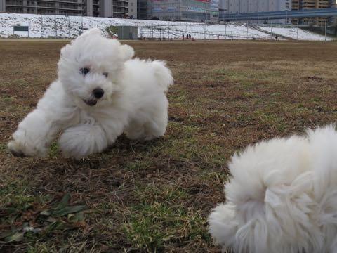 ビションフリーゼこいぬ情報フントヒュッテビションこいぬ画像子犬の社会化ビション赤ちゃんおんなのこかわいいビションフリーゼおとこのこ東京ビション出産情報性格ビション家族募集中_1267